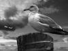 Uge_40_seagull