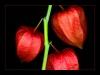 Uge_43_winter_cherry