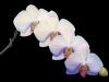 Uge_50_orkide
